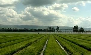 שדות חקלאיים בגליל, גידולי קנאביס (צילום: חדשות 2)