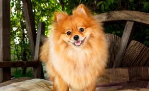 כלב פומרניאן (צילום: shutterstock ,מעריב לנוער)