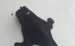 דג צפרדע שחור (צילום: פייסבוק)