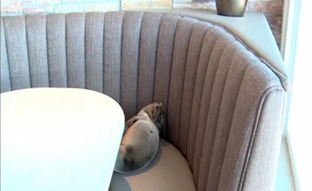 מה חיפש כלב הים במסעדה? (צילום: רויטרס)