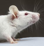 עכבר (צילום: אימג'בנק / Thinkstock ,mako)
