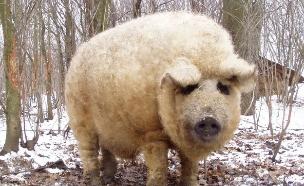 חזיר פרוותי (צילום: boredpanda)
