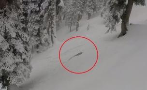 נמר שלג (צילום: youtube)