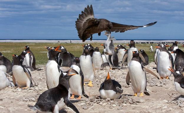 סקואה טורפת גוזל פינגווין (צילום: קייטרס)