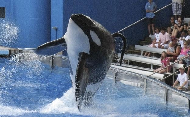 הלחץ פעל: הרבעת הלווייתנים תופסק (צילום: רויטרס)
