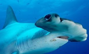 כריש הפטיש (צילום: באדיבות המצפה התת ימי באילת)