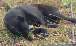 הכלבה שבה לבסיס כשהיא תשושה וחלשה (צילום: תנו לחיות לחיות)
