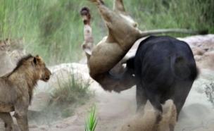 באפלו נגד אריה (צילום: מריאנגלה מטראצו לי)
