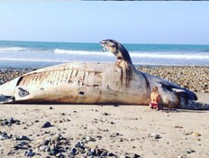 פגר לוויתן (צילום: אינסטגרם)