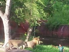 קפץ לגוב אריות (צילום: טוויטר)