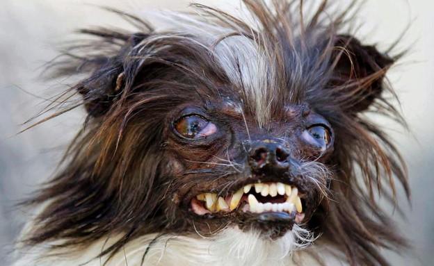 תחרות הכלב המכוער בעולם (צילום: צילום מסך ,מעריב לנוער)