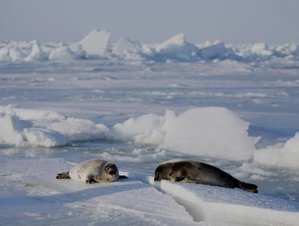 כלבי ים בקנדה