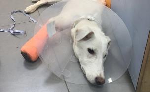 הכלבה נים במרפאה לאחר שעברה טיפול