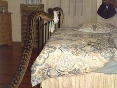 פיתון במיטה (צילום: פייסבוק)