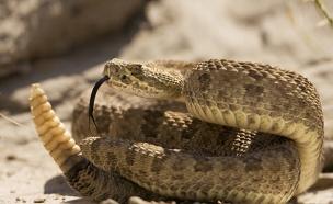 חשב שמדובר בצרצר - וגילה שמדובר בנחש עכסן ארסי (צילום: רויטרס)