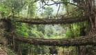 גשר שורשים בהודו (צילום: atlasobscura.com)