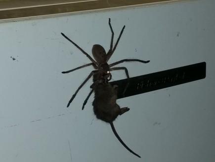 עכביש אוכל עכברוש (צילום: פייסבוק)