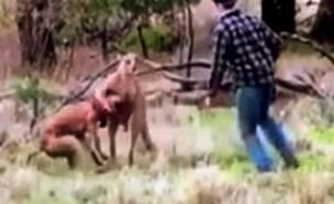 קרב אגרוף עם קנגורו (צילום: יוטיוב)