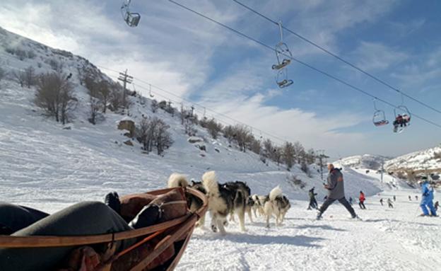מזחלת שלג עם כלבים (צילום: חדשות 2)
