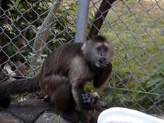 """קונר, הקוף שנמלט (צילום: באדיבות עיריית ת""""א-יפו)"""