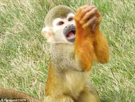 קוף מתחנן (צילום: פייסבוק)