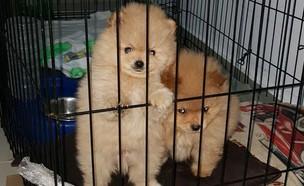 הכלבים הפומרניים ממודעת ההגרלה