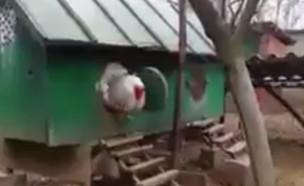 תרנגולת ברהמה (צילום: טוויטר)