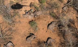 פילים מורדמים (צילום:  Mediadrumworld)