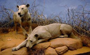 אריות אוכלי אדם צאבו (צילום: ויקיפדיה)