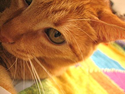 חתול (צילום: דן-יה שוורץ)