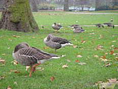 לונדון: יונים בפארק (צילום: דנה נחמד)