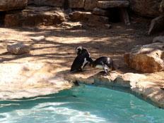 פינגווינים בספארי ברמת גן