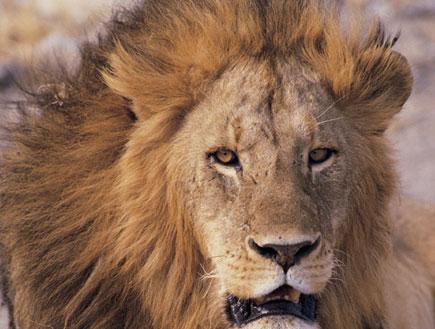 אריה (צילום: SXC)