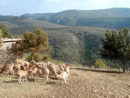 אטרקציות לילדים: עדר יעלים בחי בר כרמל (צילום: איל שפירא)