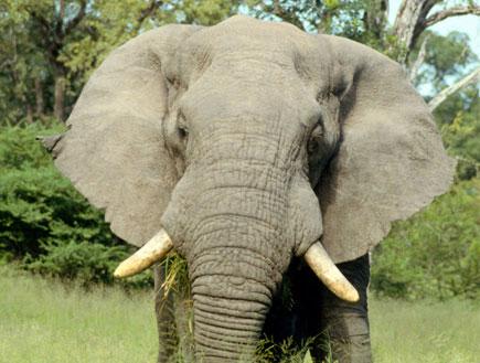 פיל (צילום: SXC)