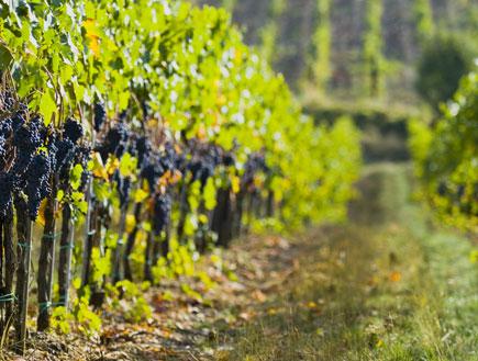 כרם ענבים (צילום: Shutterstock)