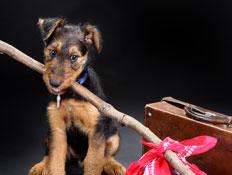 כלב עם מקל בפה ומזוודה