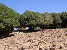 אטרקציות בצפון: סלעים אדמדמים ועצים ביער אודם (צילום: איל שפירא)