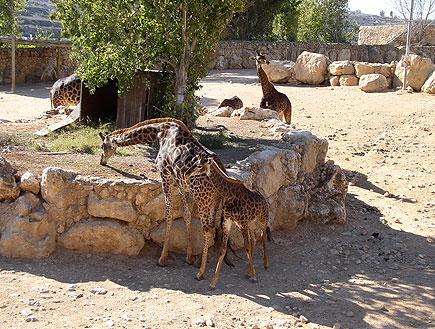 """ג'ירפות בגן החיות התנ""""כי (צילום: איל שפירא)"""