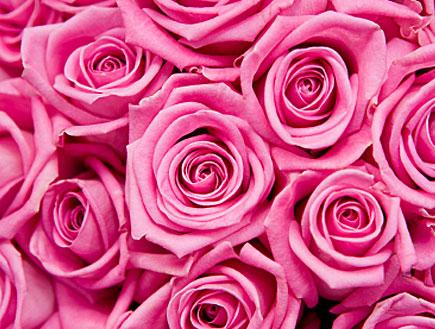 ורדים ורודים (צילום: istockphoto)