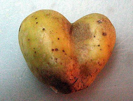 תפוח אדמה לב (צילום: עדי רם)