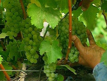 אשכול ענבים (תמונת AVI: אור גץ, חדשות1 ערוץ 2)