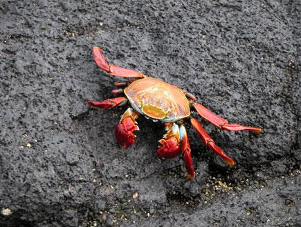 סרטן אדום על סלע (צילום: istockphoto)