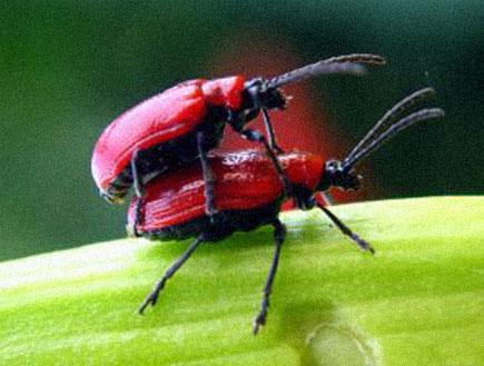 חיפושיות אדומות מזדווגות על עלה (צילום: אור גץ)