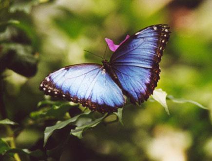 פרפר סגול-כחול יושב על עץ