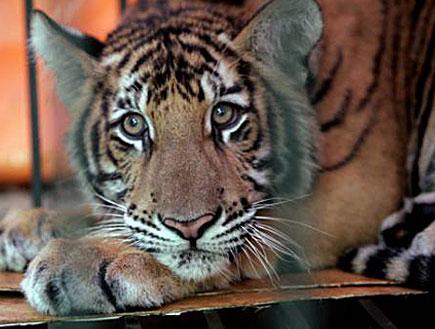 """יום כיף עם הילדים: טיגריס בגן החיות התנכ""""י בירושלי (צילום: רויטרס, רויטרס1)"""