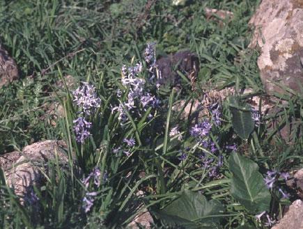 פרח היקינתון בהר קרני חיטין בגליל התחתון