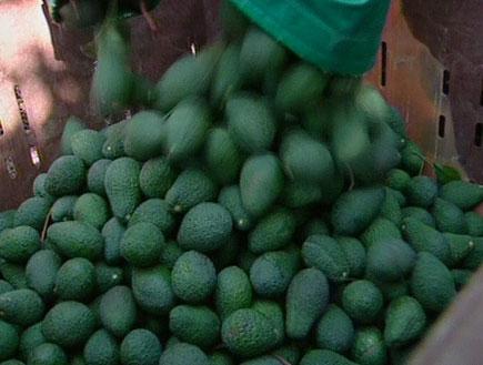 ערימת אבוקדו (תמונת AVI: חדשות1 ערוץ 2)
