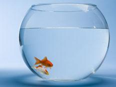 דג זהב (צילום: jupiter images)