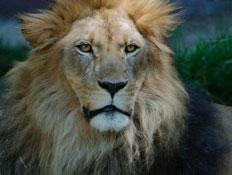 אריה (צילום: stock_xchng)